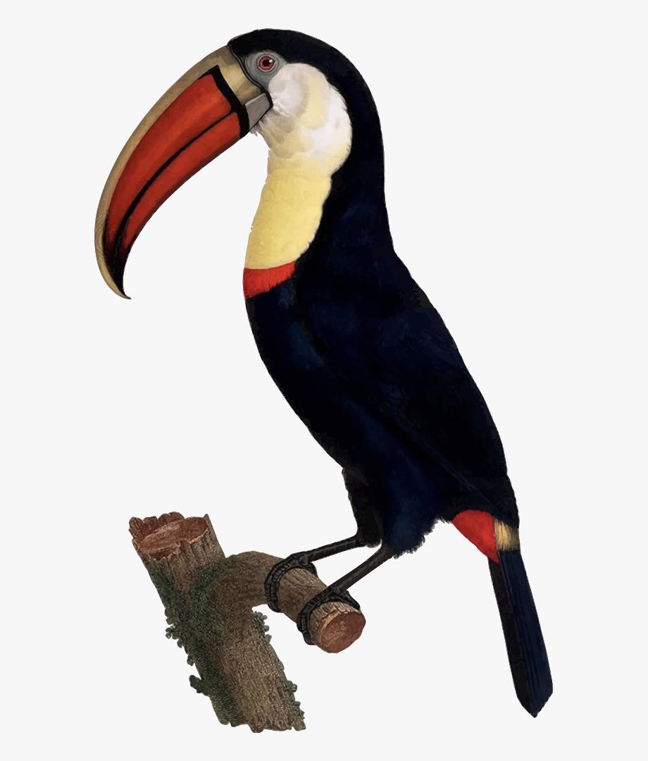 Toucan clipart tropical parrot. Birds biology illustration free