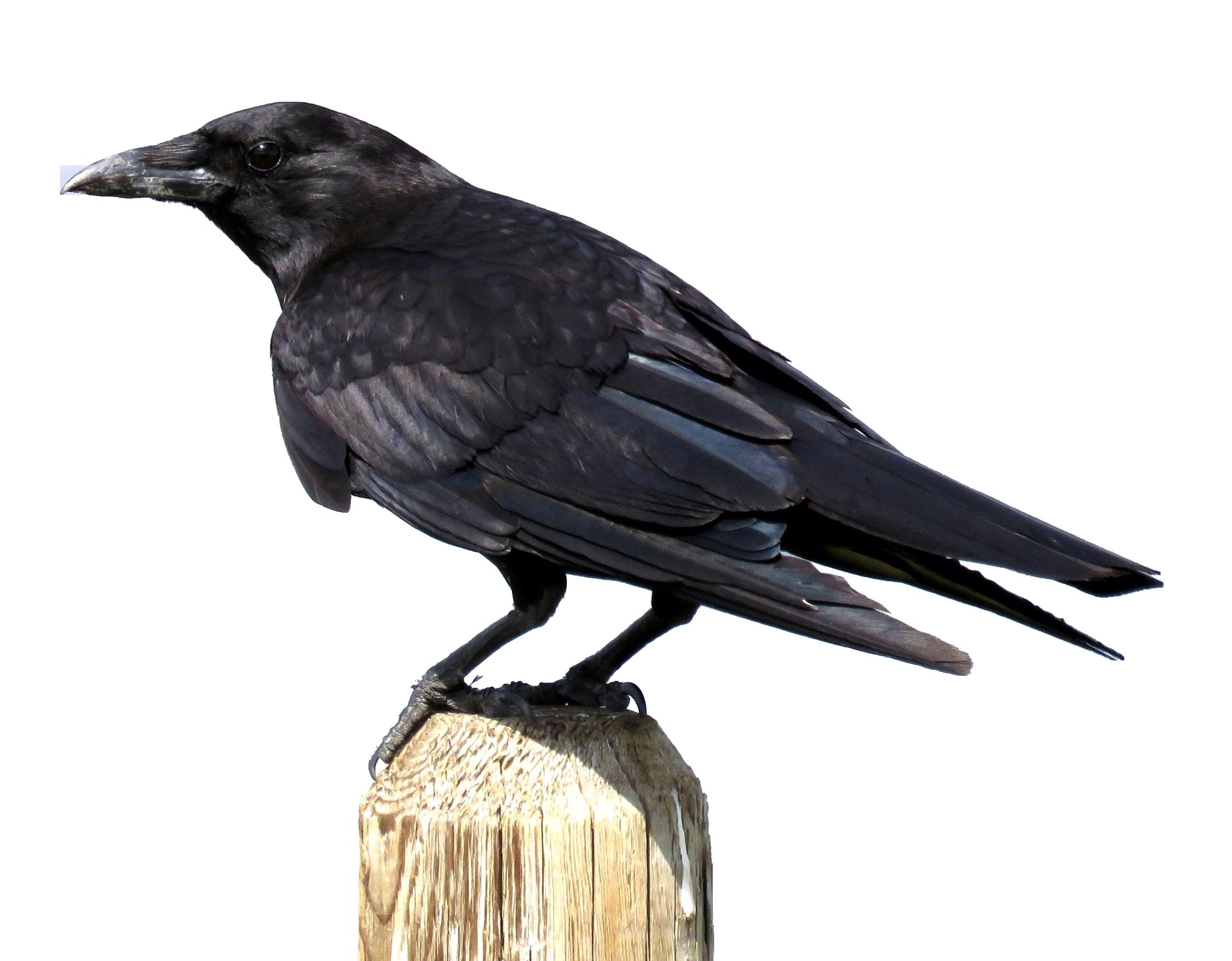 Transparent images png. Crow image pngpix