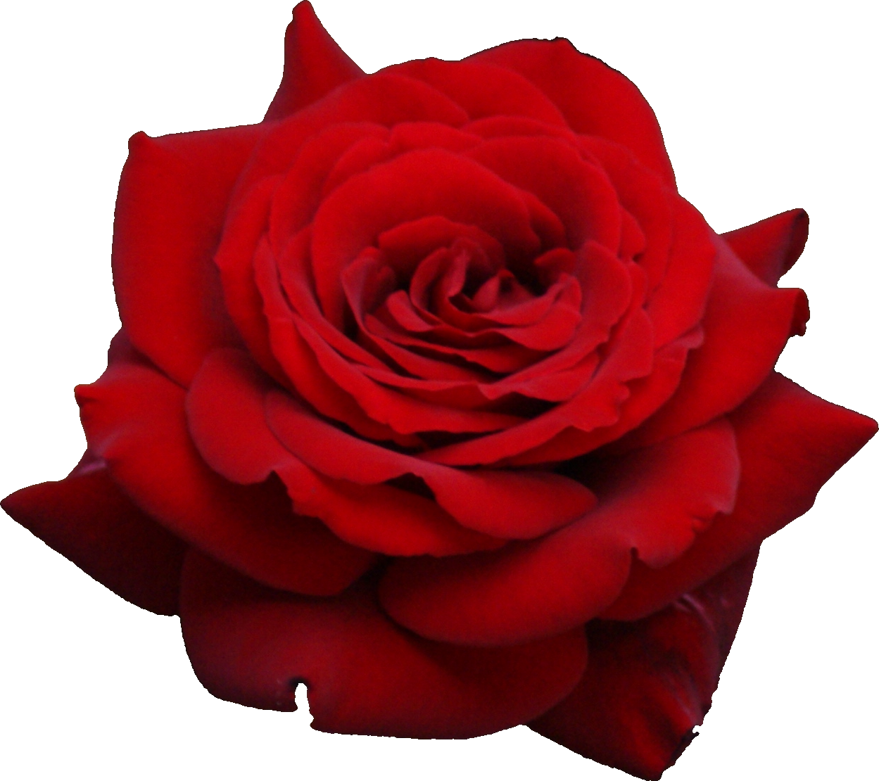 Transparent png images roses. Rose hd pluspng red