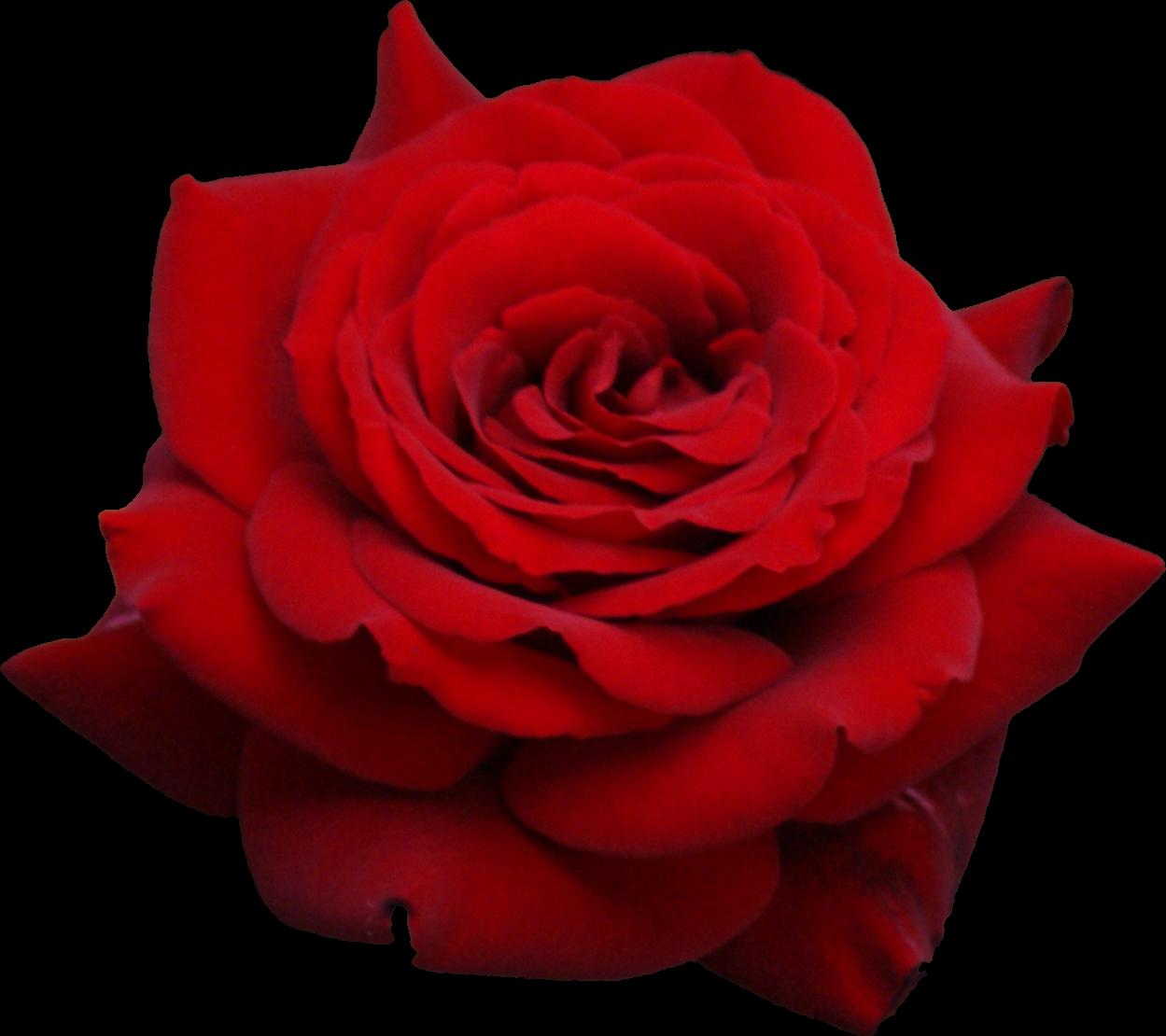 Hd transparent images pluspng. Rose flower png