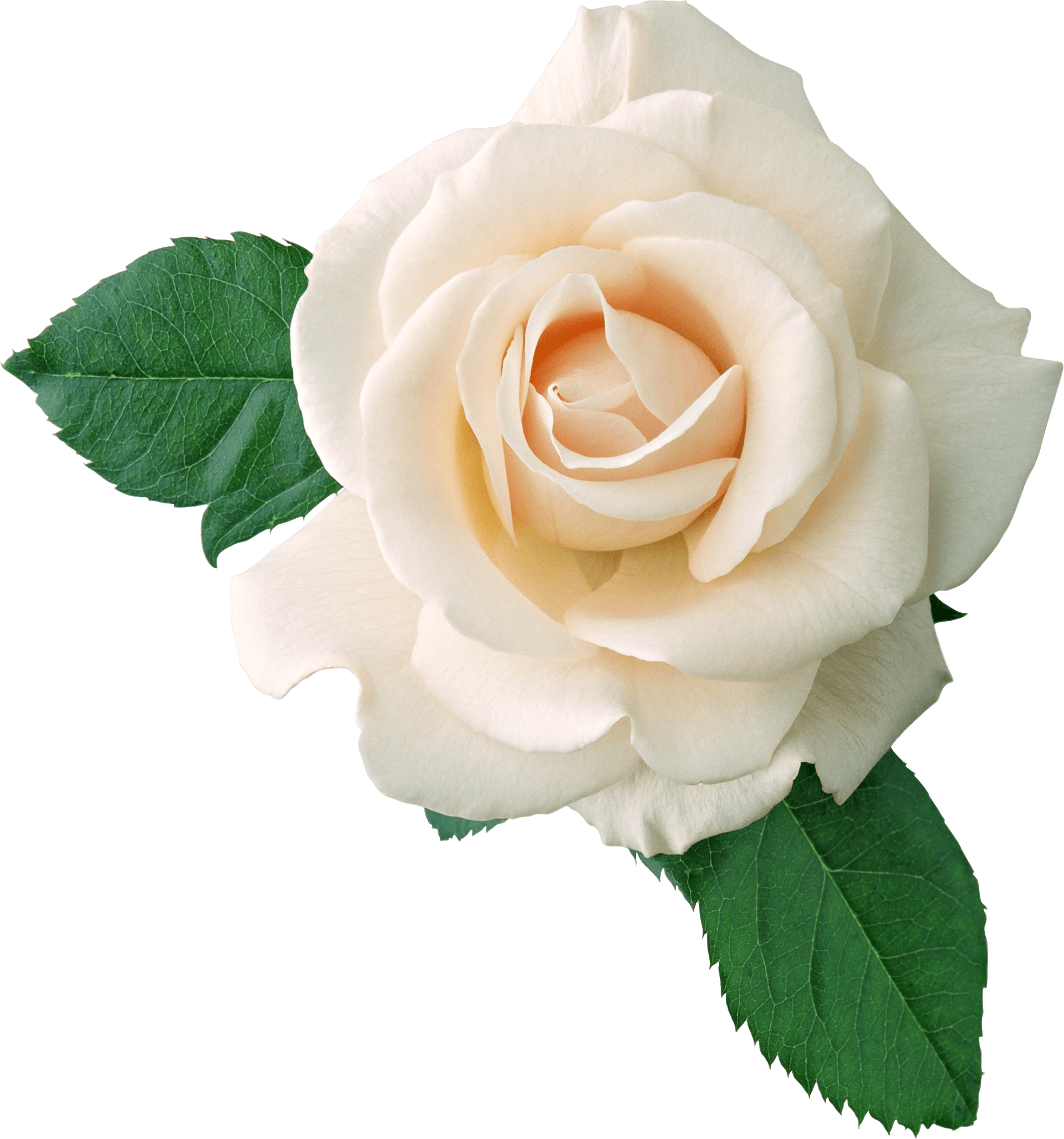Transparent png images roses. White rose on leaves