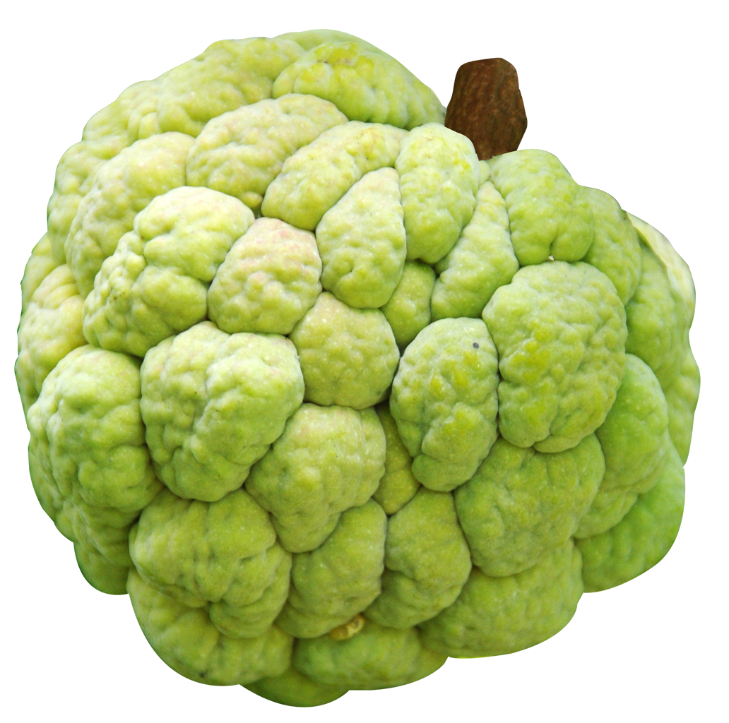 Tree clipart atis. Images of custard apple
