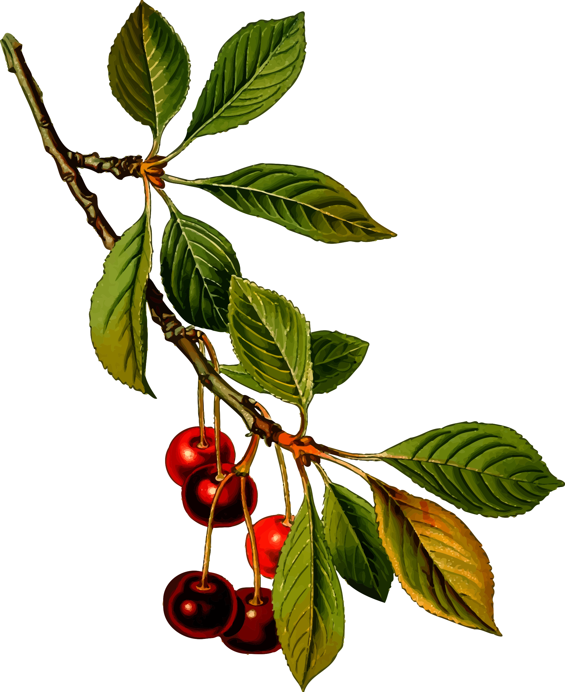 Sour cherry detailed big. Tree clipart food