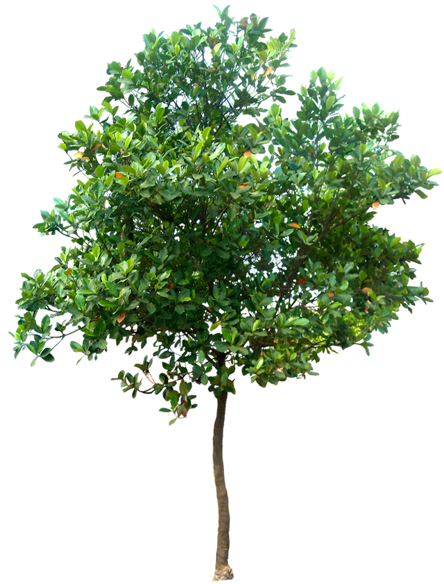 Tree transparent all clipart. Trees png images