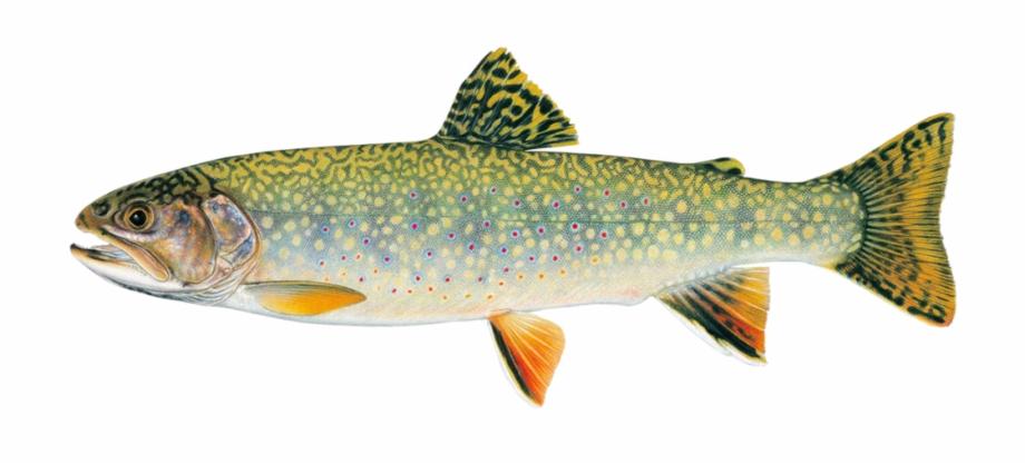 Trout clipart brook trout. Stream versus rainbow clip