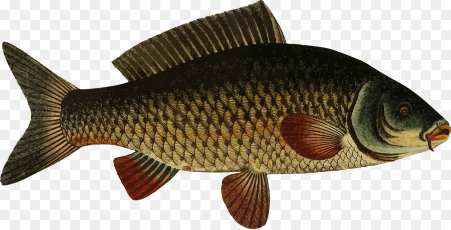 Animal cartoon fish transparent. Trout clipart carp