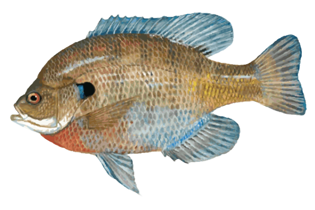 Download free png dlpng. Trout clipart fish gill