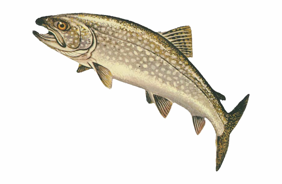 Png transparent . Trout clipart lake trout