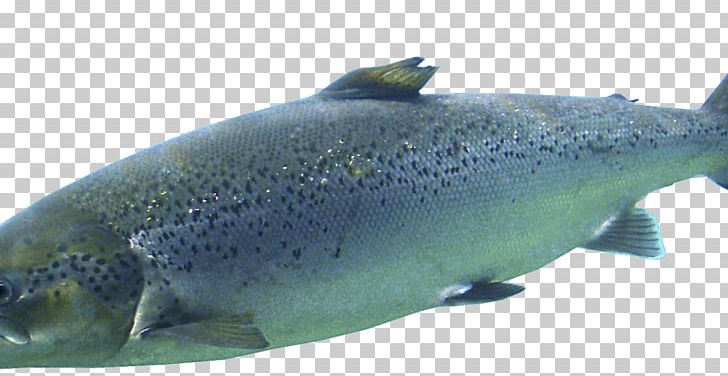 Salmon cod png aquatic. Trout clipart oily fish