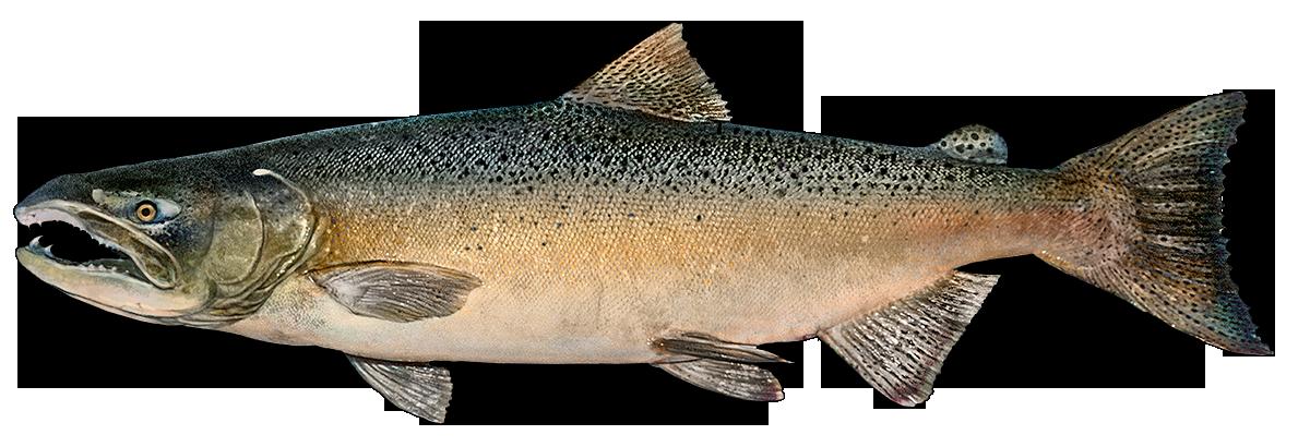 Fishing apps httpwwwfishbuoycomimagesimagesfishspeciesimageschinooksalmonpng. Trout clipart pink salmon