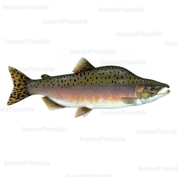 Fish printable download clip. Trout clipart pink salmon