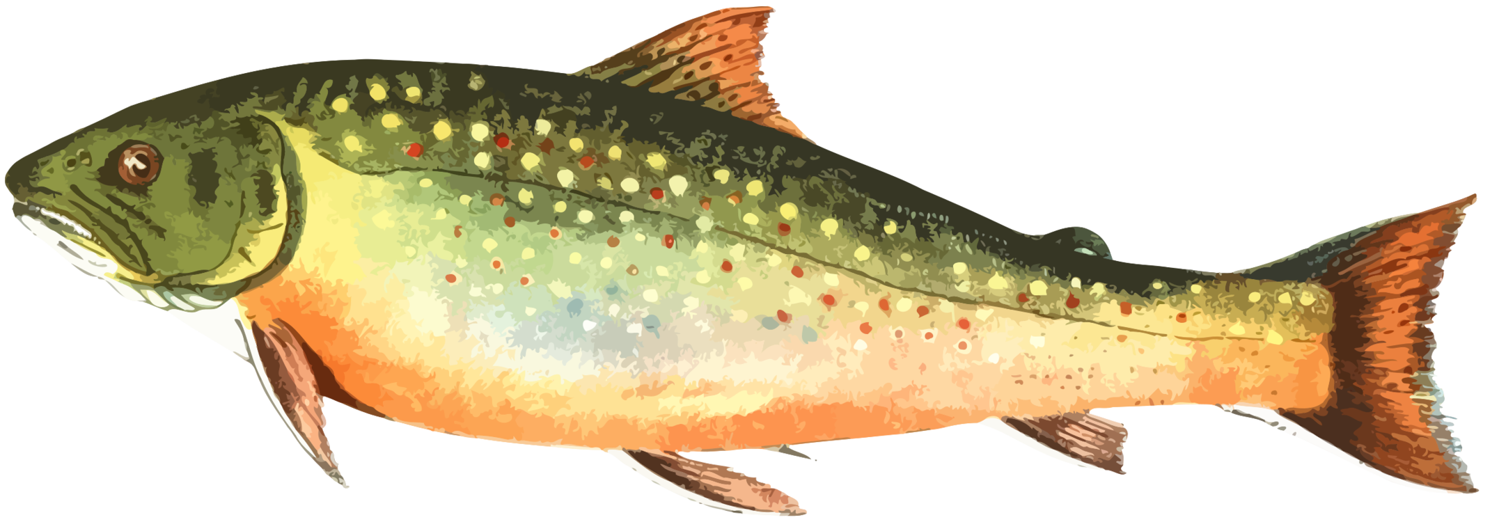 Trout clipart pink salmon. Transparent png free download