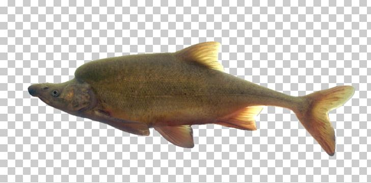 Trout clipart river fish. Little colorado humpback chub