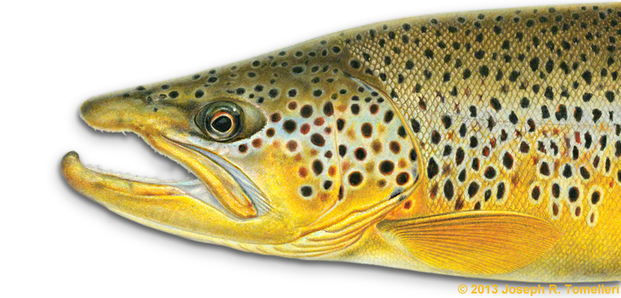Freshwater fish free collection. Trout clipart vector
