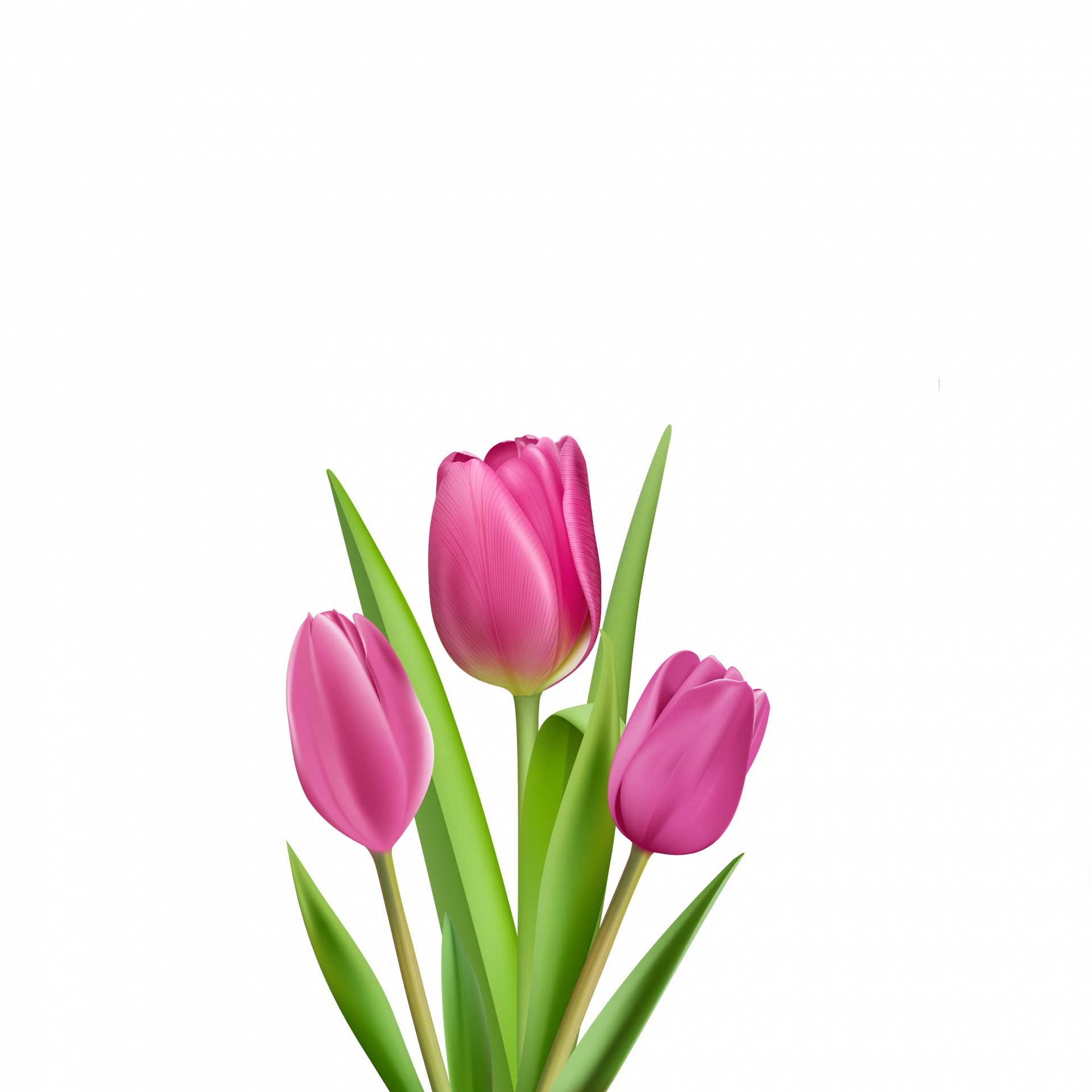 Illustration free stock photo. Tulips clipart