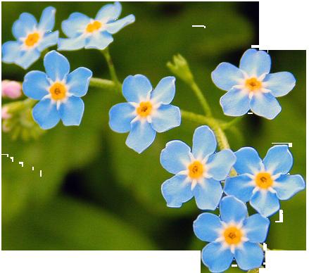 Water forgetmenot myosotis scorpioides. Tumblr flower png