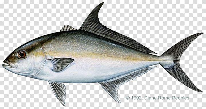 Tuna clipart amberjack. Almaco jack yellowtail bar