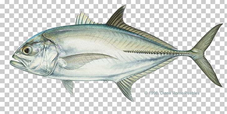 Giant trevally pacific crevalle. Tuna clipart amberjack