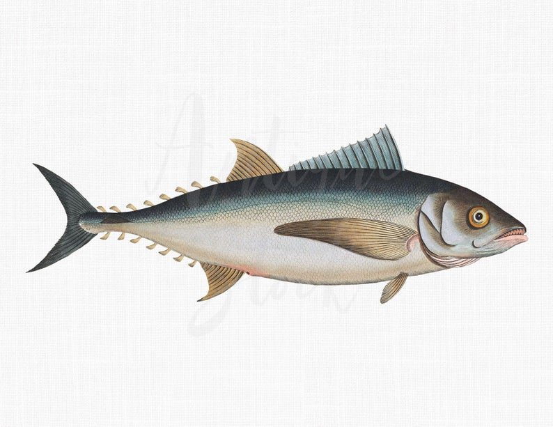 Tuna clipart edible fish. Blufin vintage print digital