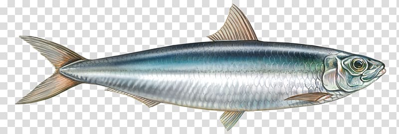 Sardine milkfish yellowfin eat. Tuna clipart edible fish
