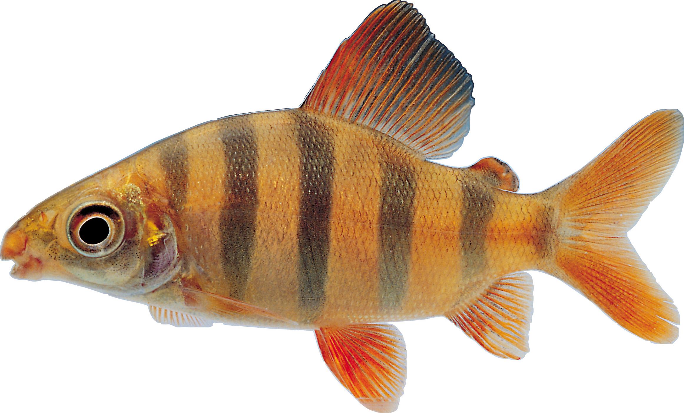 Png . Tuna clipart fish gill