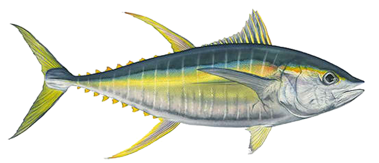 Bigeye yellowfin albacore fishing. Tuna clipart mackerel fish