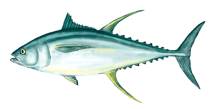 Tuna clipart transparent background. Download ahi png free