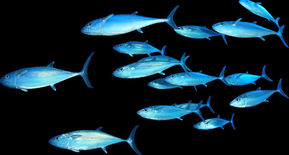 Thunnus clip art swimming. Tuna clipart tuna fish
