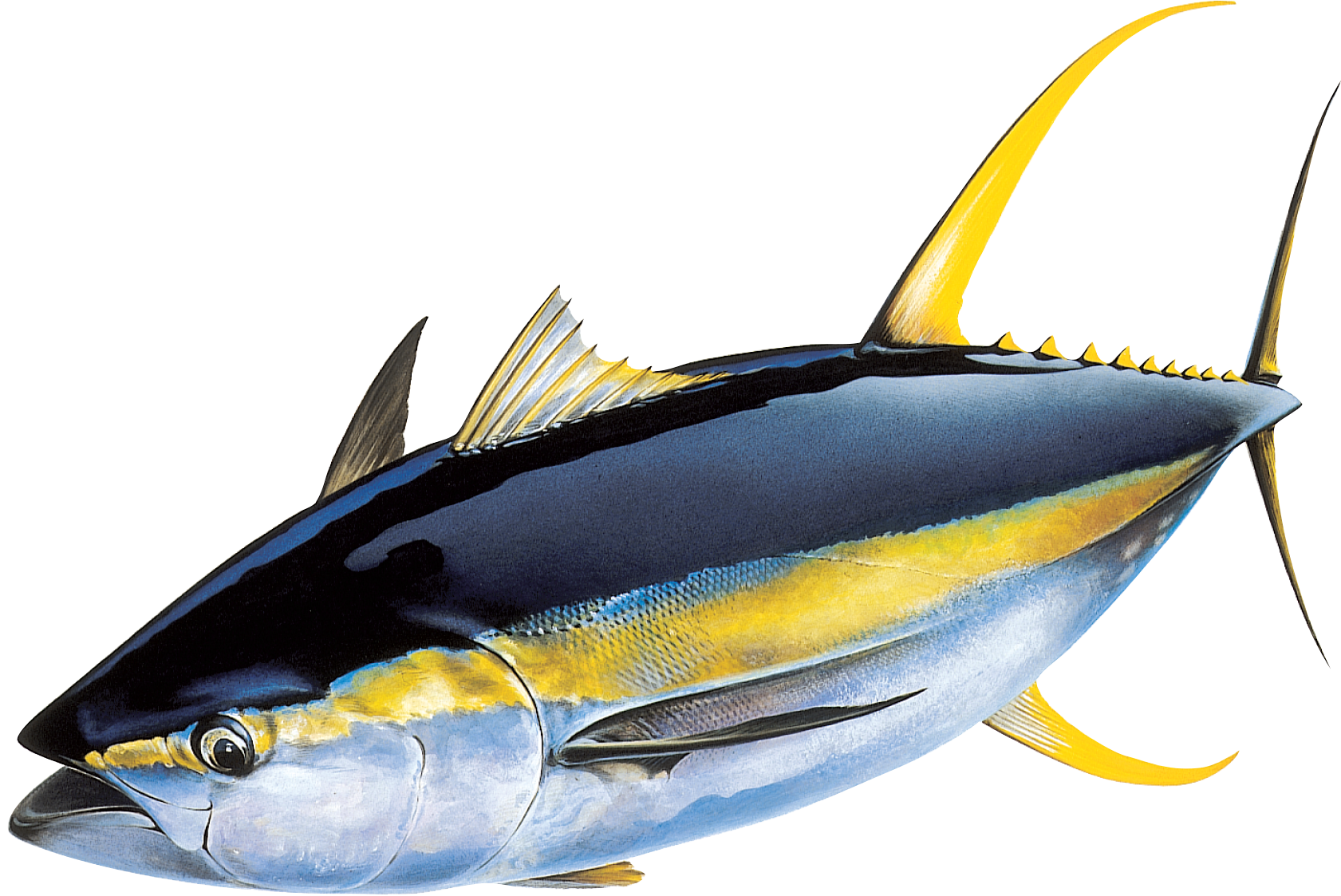 Png transparent images pluspng. Tuna clipart tuna fish