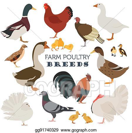 Vector poultry farming chicken. Turkeys clipart goose