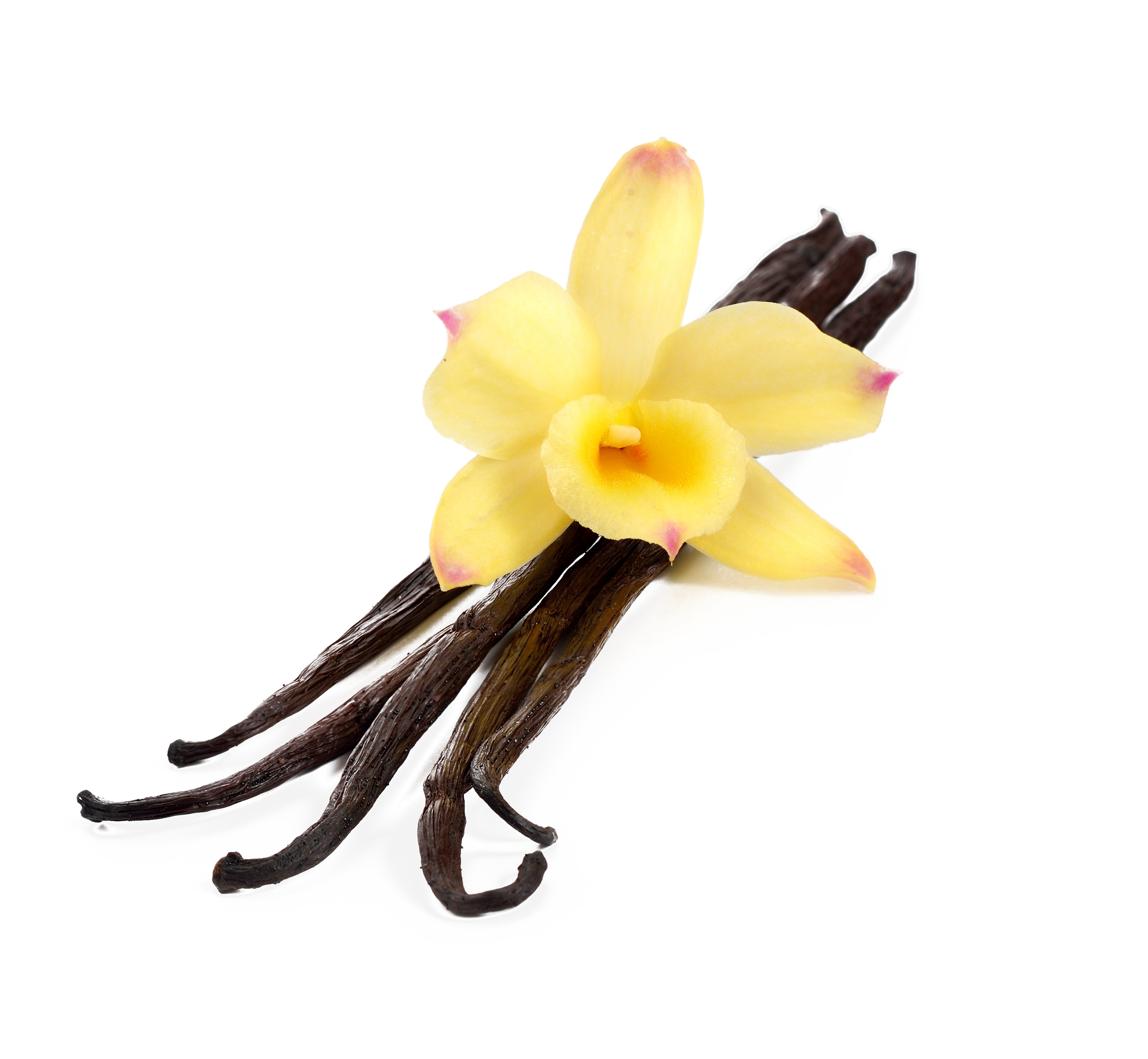 Flavor extract stock photography. Vanilla flower png
