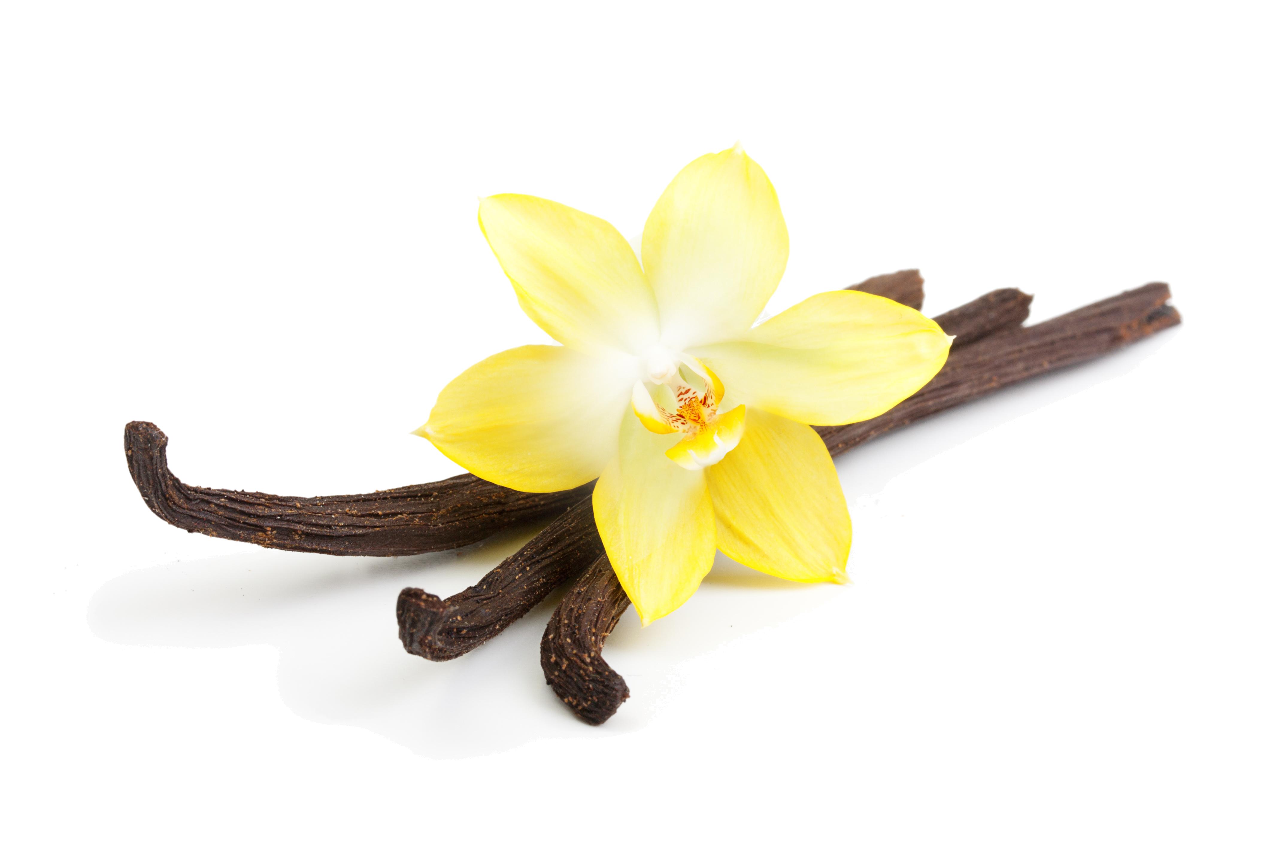 Vanilla flower png. Transparent images pluspng vanillapng