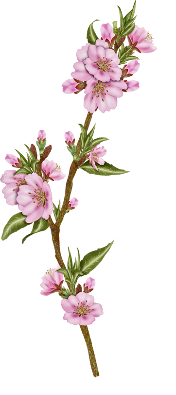 Vector flower png. Flowers almond pinterest and