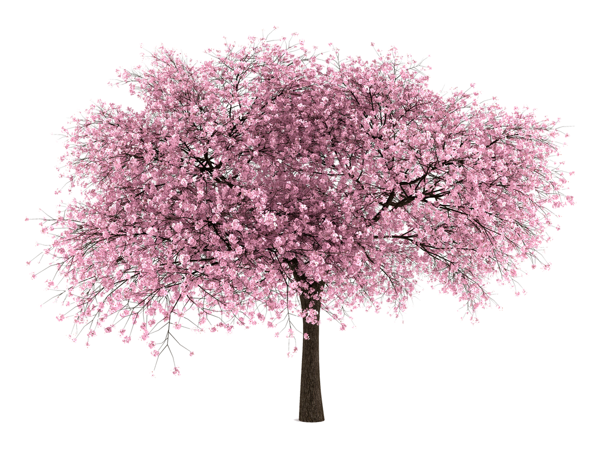 free tree png. Vines clipart cherry blossom