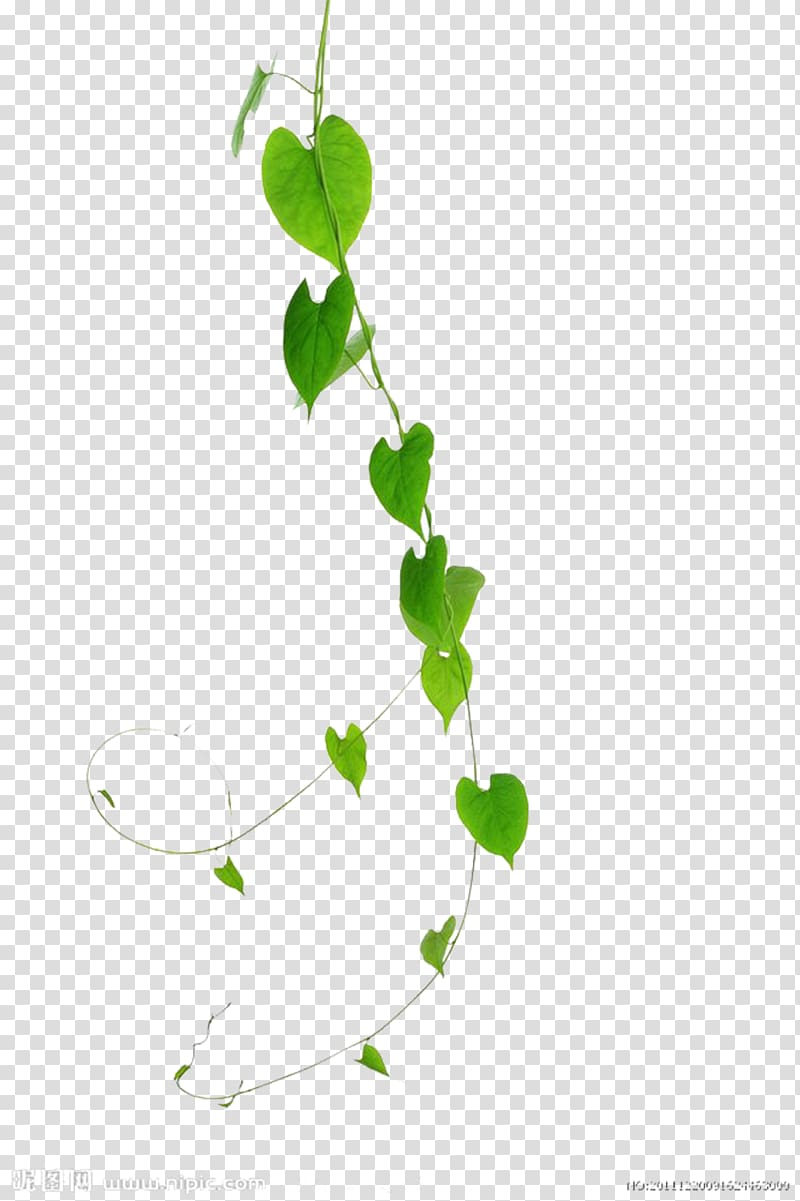 Green leaves vine leaf. Vines clipart creeper plant