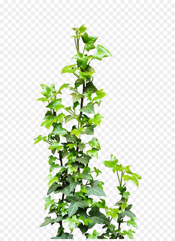 Png vine plants download. Vines clipart creeper plant