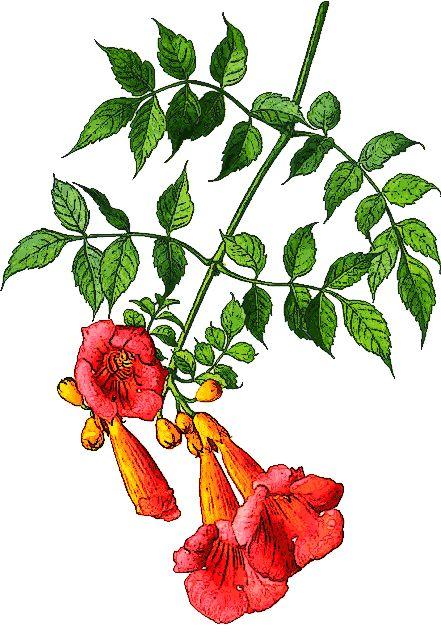 Trumpet vine clip art. Vines clipart creeper plant