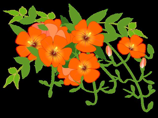 Chinese trumpet flower orange. Vines clipart flowering vine