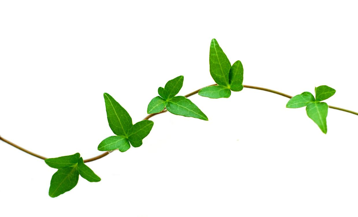 Pictures of free download. Vines clipart leafy vine