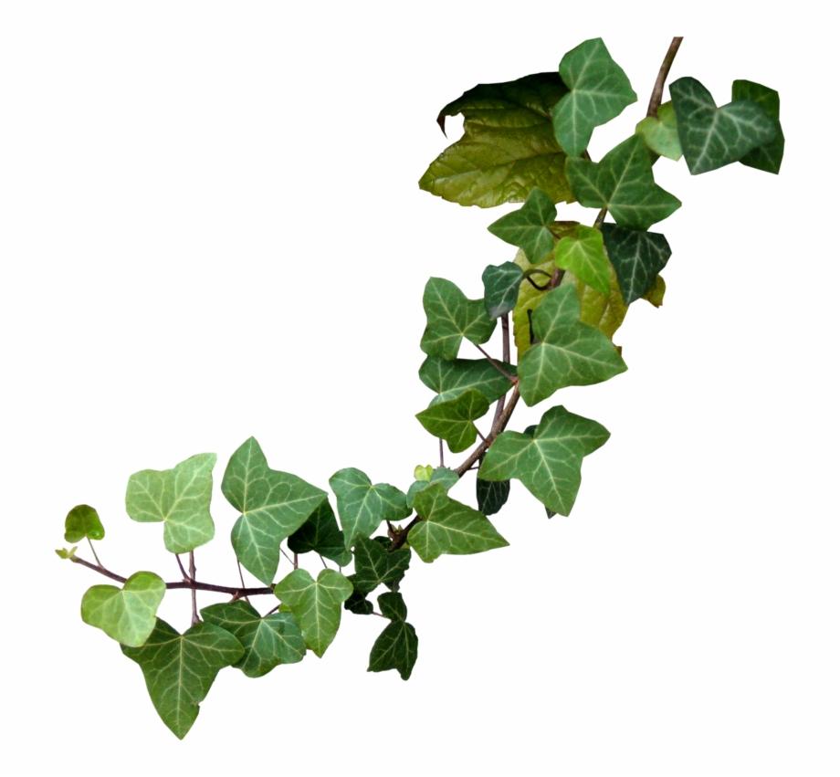 Vine twig free png. Vines clipart poison oak