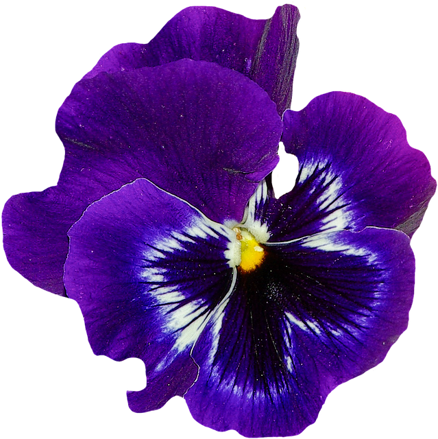 Violets flowers transparent images. Violet flower png