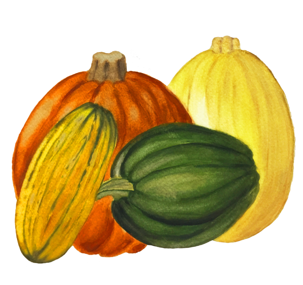 zucchini clipart acorn squash