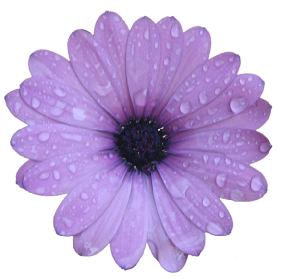 Wet clipart flower. Purple free images at