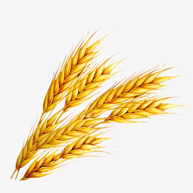 Png image and for. Wheat clipart