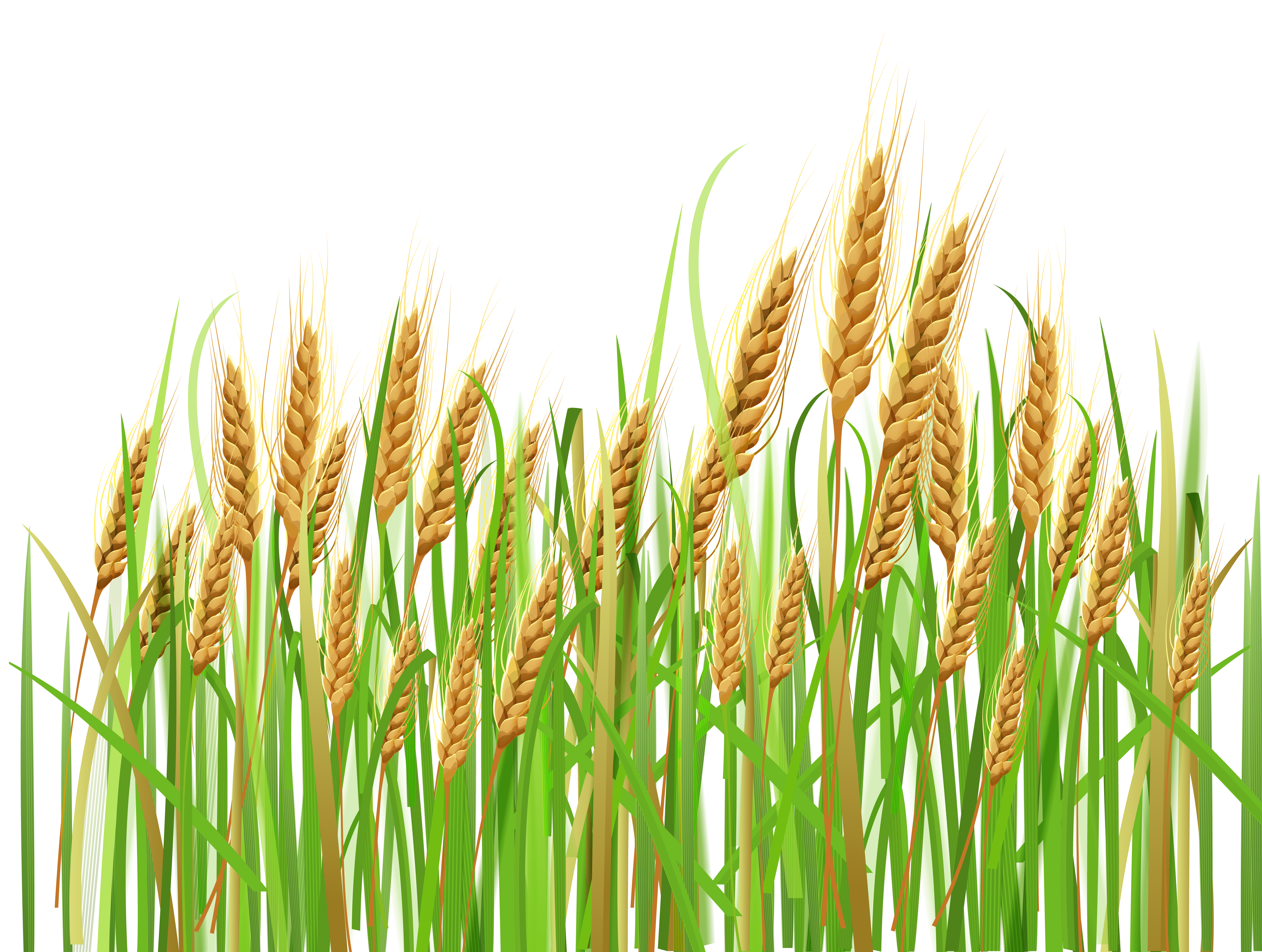 Ears of wheat png. Germ clipart border
