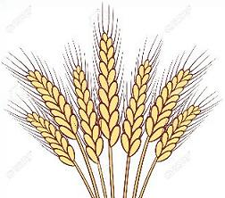 Wheat clipart. Free