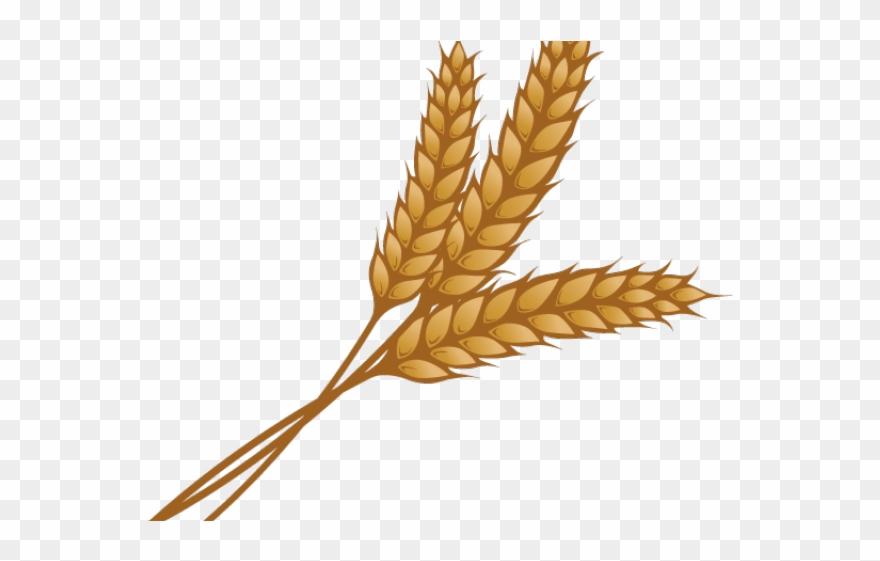 Grains clipart wheat head. Single piece png download