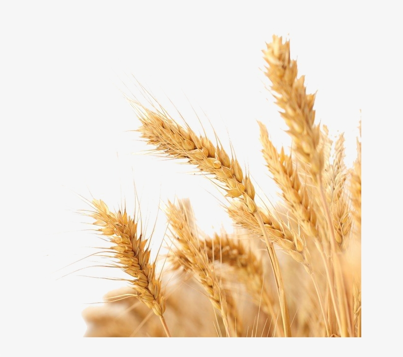 Png image background for. Wheat clipart baisakhi