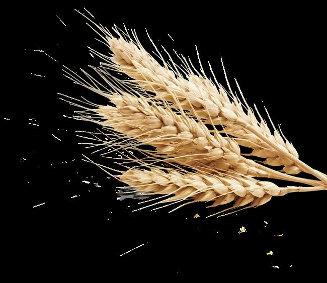 Plant crops produce grain. Wheat clipart crop production