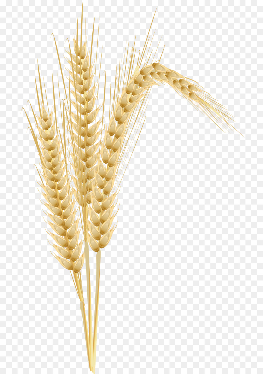 Drawing of family grass. Wheat clipart ear wheat